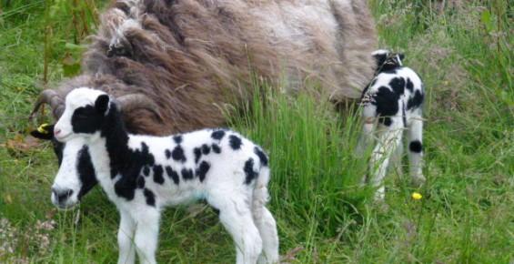 jacob sheep crafts wool fibre argyll sustainability