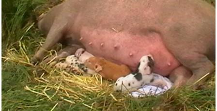 pork croft pigs argyll sustainability